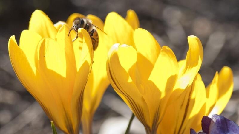 Forårets prydløg skal plantes nu