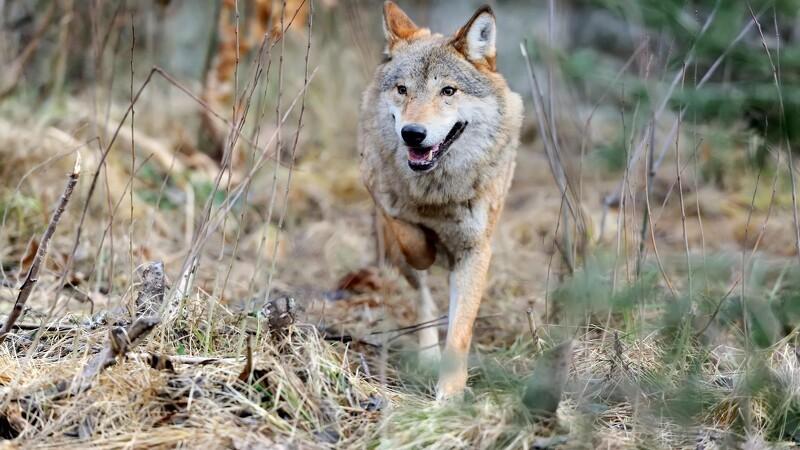 Færre ulve i Danmark