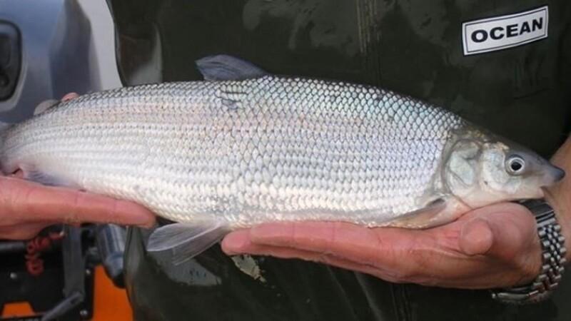 Danmarks mest sjældne laksefisk eftersøges