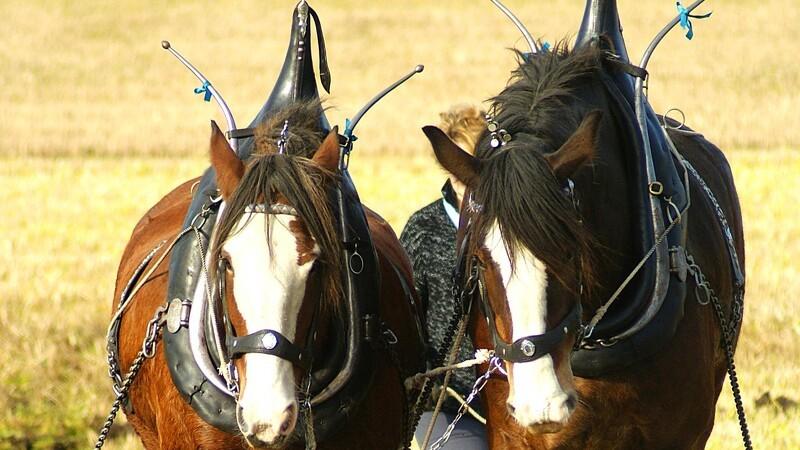 Verdens største hesterace er truet af udryddelse
