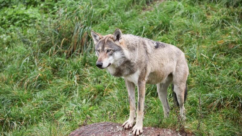 Hoppe overlever ulveangreb - føl dræbt