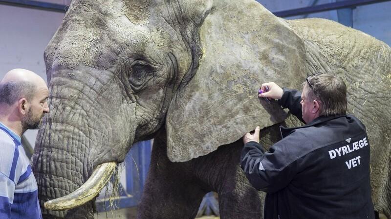 Elefanter består sundhedstjek