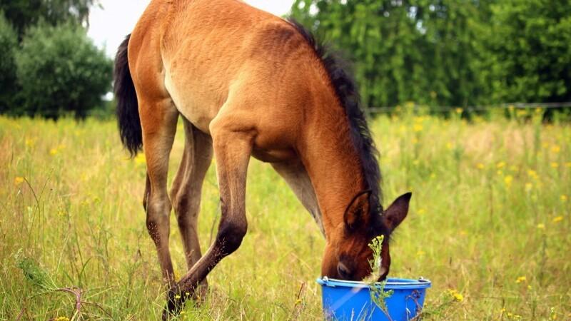 Loppefrøskaller forebygger sandkolik hos din hest