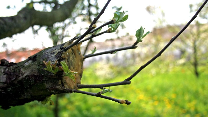 Sjælden chance for at lære at pode æbletræer