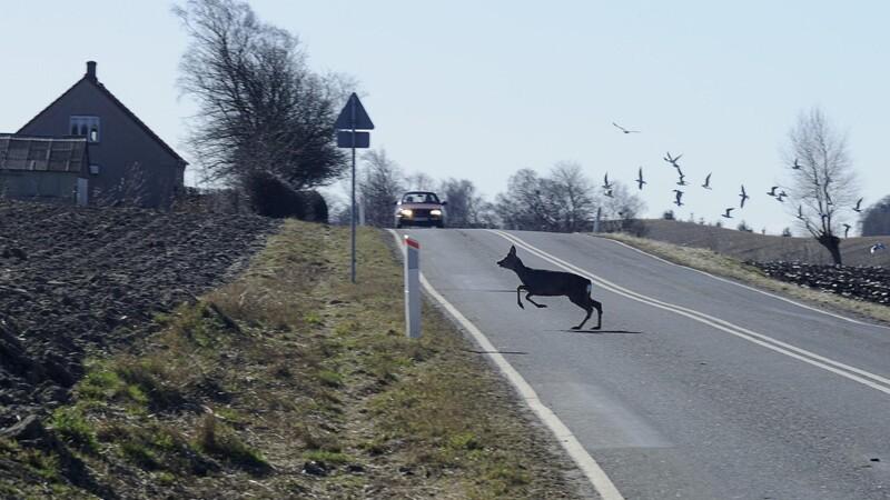 Stor stigning i antal hjortepåkørsler