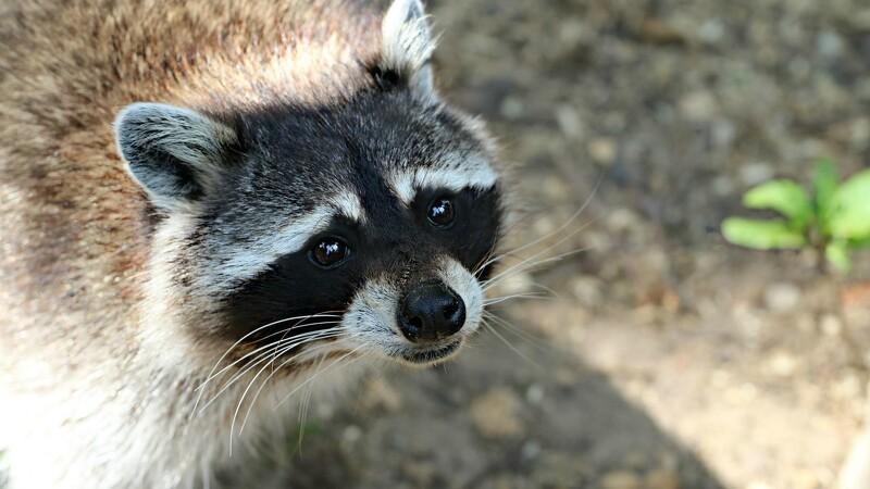 Danskerne indberetter flittigt invasive arter