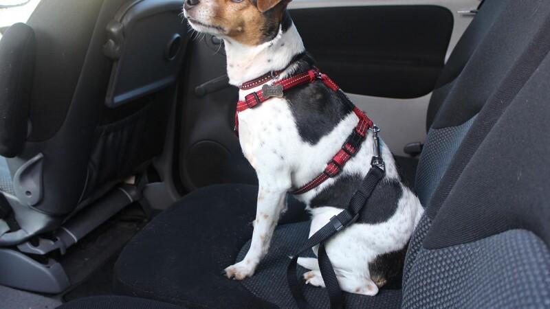 Lille hund på bagsædet kan ramme som en hest