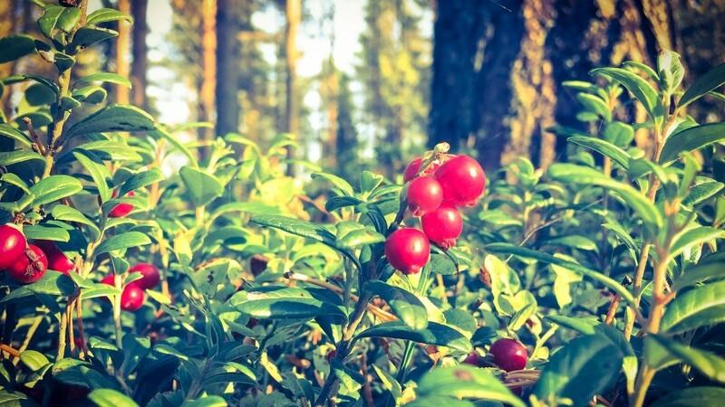 Start tyttebær-bilen og kør i skoven