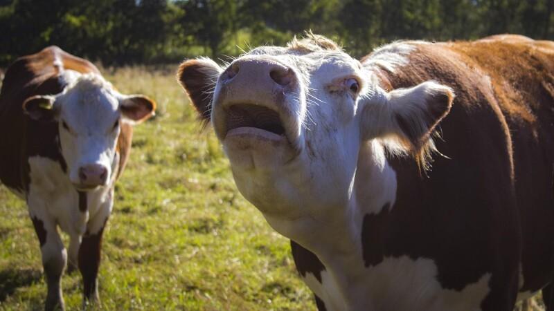 Køerne bøvser videre