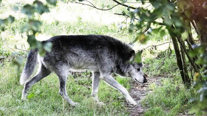 Hund bed mand - ikke ulv