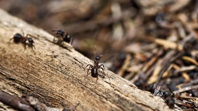 Myrer bekæmper plantesygdomme