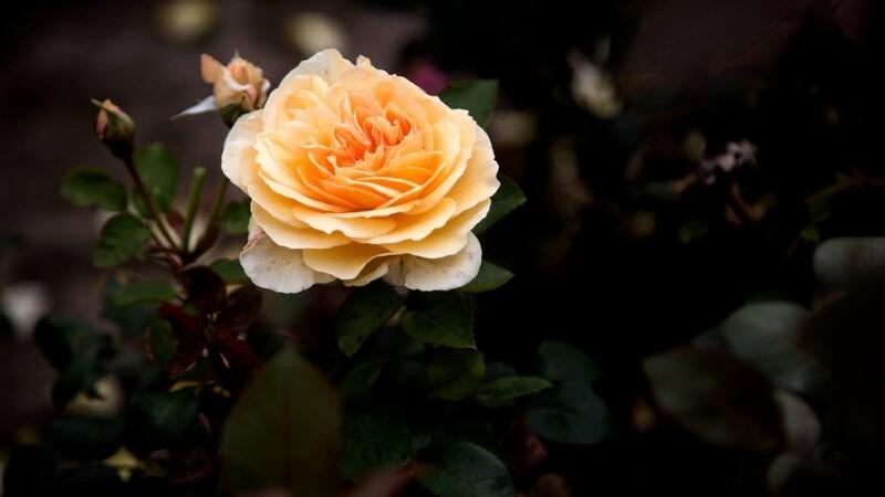 Fire nemme tips til den perfekte rosenhave