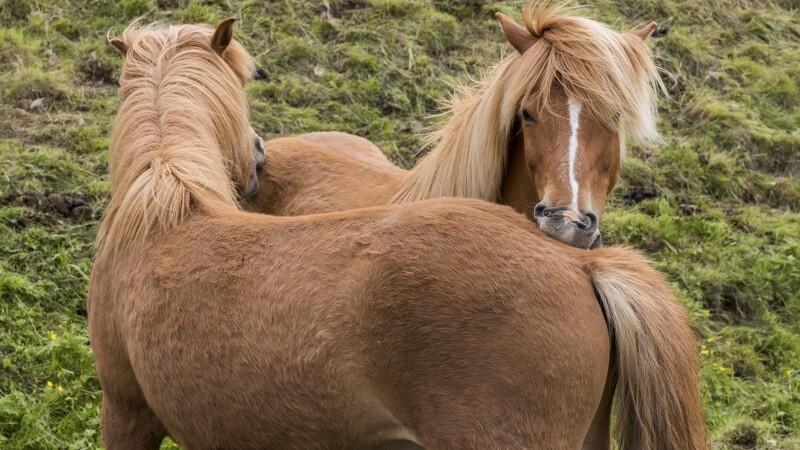 Ulv stod ikke bag angreb på islandsk hest