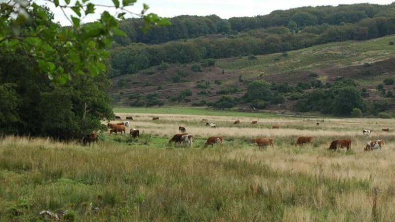 Græssende dyr skal udvide Rold Skov