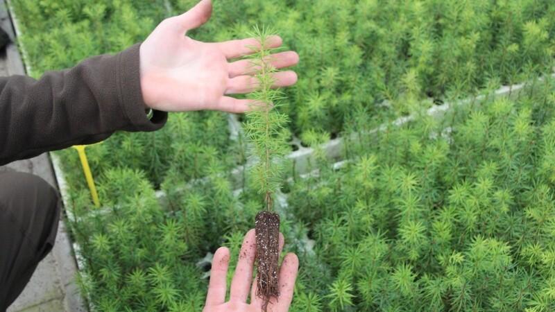 Dækrodsplanter sikrer billigere kulturer i skoven