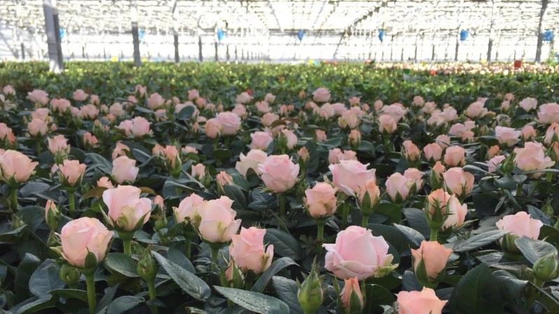 Fynske roser med royalt skær
