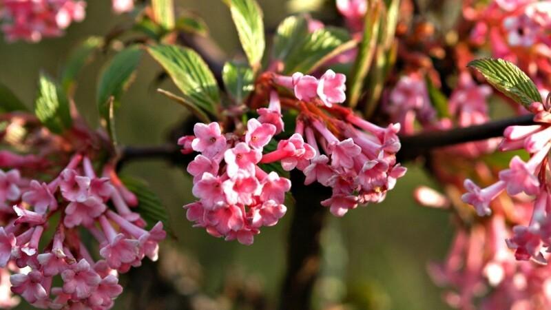 Vinterens blomstrende busk