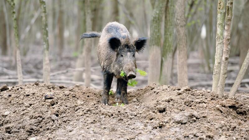 Vildsvinehegn langs grænsen skal beskytte den danske svineeksport