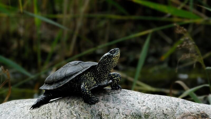 Danskerne har afleveret 541 sumpskildpadder