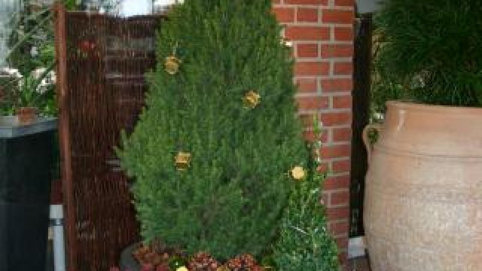 cedertræ i potte pasning
