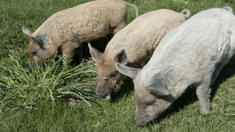 gris med pels