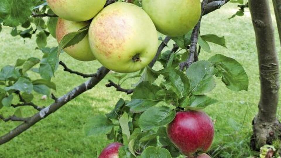 Algefjerner æbletræ